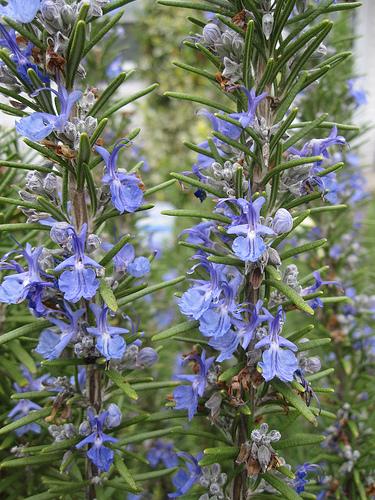 The Wonderful Healing Properties of Rosemary Oil